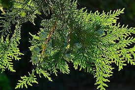 smaragd tuja
