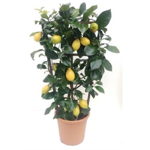 citrom ára